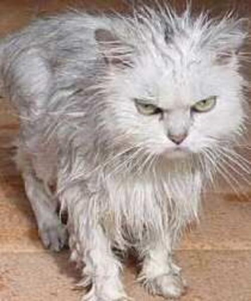 图说:猫洗澡 真是一场无言的悲剧