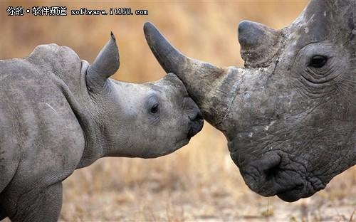 Win8通用主题《非洲野生动物》图赏二