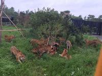 动物园监控盲区 小熊误入虎区被攻分食