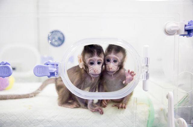 两只克隆猴诞生 为人类医学带来光明前景