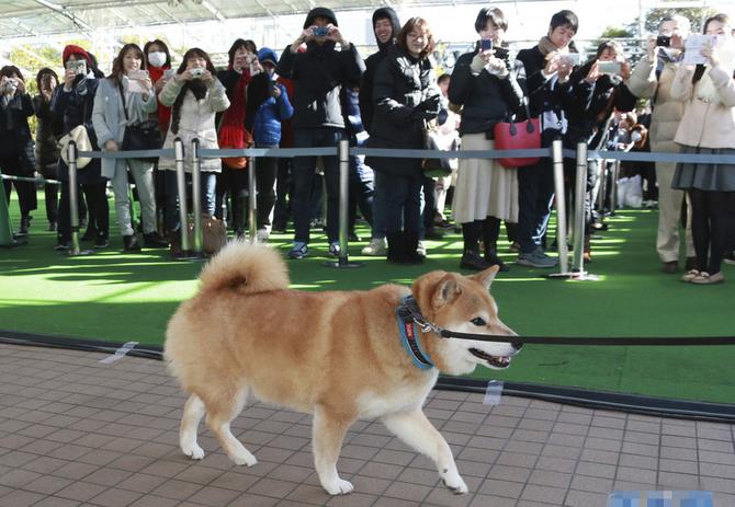 日柴犬出席见面会 被这个小可爱暖化了