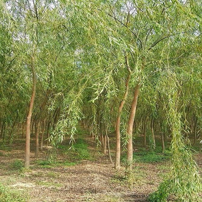 杨树和柳树为雌雄异株植物,我们平日里看到的飞絮是杨柳树雌株的