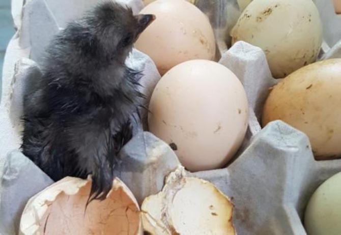 """鸡蛋放阳台孵出鸡  """"烧烤天气""""连续暴热"""