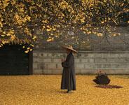 千年银杏树成网红  最美银杏树观赏需预约
