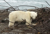 俄村庄被20只北极熊包围 只为围堵猎食海象